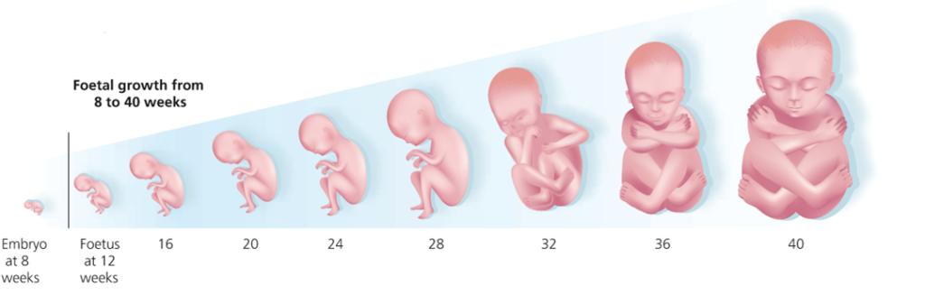 Развитие плода во время беременности
